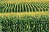 Ratari u južnom Banatu zadovoljni rodom kukuruza