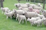 Sve manje ovčara u Vojvodini