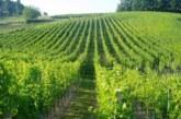 Bliži se berba grožđa, male porodične vinarije spremne