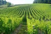 Vršački vinogradi na prodaju 30. januara