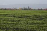 Ove godine moguć rekordan rod pšenice