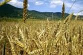 U Bajmoku obeležen Dan Dužijance tradicionalnim košenjem žita