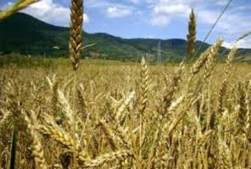 Veća tražnja i rast cena soje i pšenice