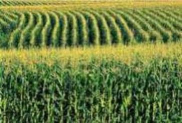 Padavine pogoduju kukuruzu, odložena žetva pšenice
