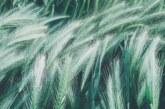 Blago zelene boje: Čudesni sok od žita