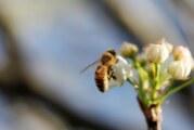 Beograd dobija azil za gradske pčele